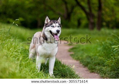 Siberian husky dog with blue eyes stands and looks ahead. Bright green trees and grass are on the background. - stock photo