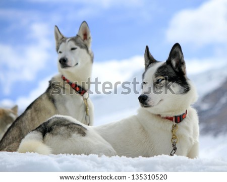 Siberian husky dogs wearing red necklace portrait sitting on the snow and cloudy sky background - stock photo