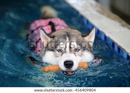 Siberian husky gray and white colors with blue eyes wear life jacket hold toy in mouth swim in swimming pool, dog swimming, dog activity, happy dog, fluffy dog - stock photo