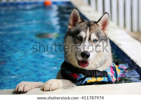 Siberian husky gray and white colors with blue eyes wear life jacket play in swimming pool, dog activity, happy dog, dog swimming - stock photo
