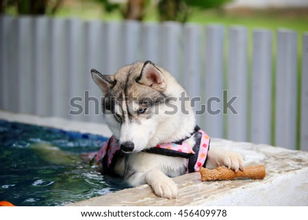 Siberian husky gray and white colors with blue eyes wear life jacket play toy in swimming pool, dog swimming, dog activity, happy dog, fluffy dog - stock photo