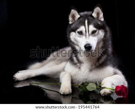 Siberian Husky in front of a black  background