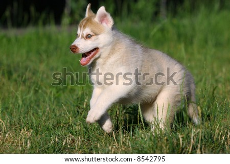 Siberian Husky in grass
