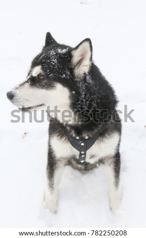 Siberian husky in the winter forest. Symbol of the year