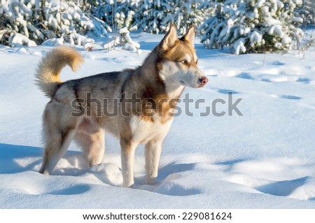 Siberian husky in winter forest - stock photo