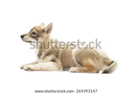 Siberian Husky lies on a white background
