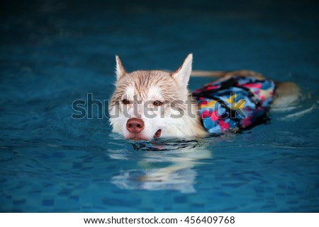 Siberian husky light red and white colors wear life jacket swim in swimming pool, dog swimming, dog activity, happy dog - stock photo