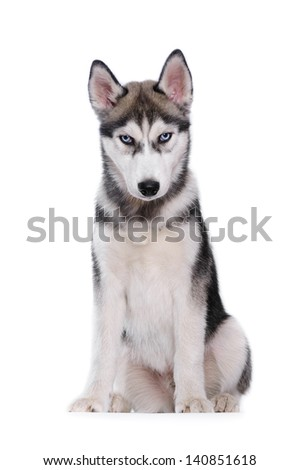 Siberian Husky on a white background