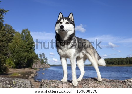 Siberian Husky on the lake in the park - stock photo