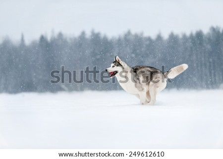 Siberian Husky preparing to jump in snow - stock photo