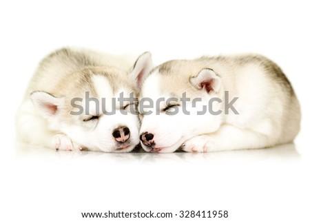 Siberian Husky puppies  - stock photo
