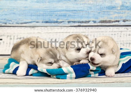 Siberian Husky puppies, age of 16 days
