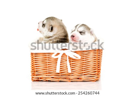 Siberian Husky Puppies in basket isolated on a white background