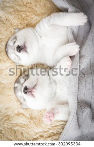 siberian husky puppies sleeping under a grey blanket - stock photo