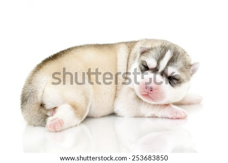 Siberian Husky puppy, age of 5 days - stock photo