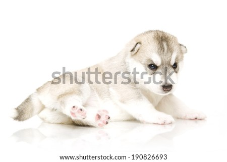 Siberian Husky puppy, age of 18 days, isolated on a white background
