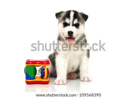 Siberian Husky puppy, age of 1 mounts, isolated on a white background