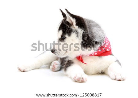 Siberian Husky puppy, age of 1,5  mounts, isolated on a white background
