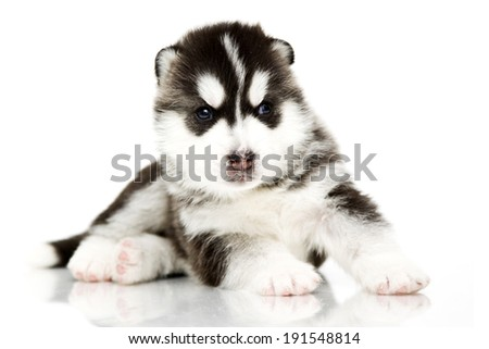 Siberian Husky puppy, age of 3 weeks, isolated on a white background