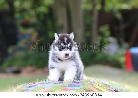 siberian husky puppy dog playing in garden - stock photo