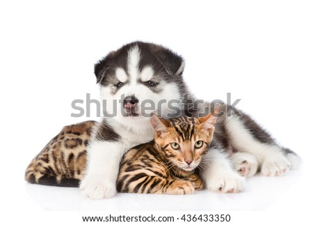 Siberian Husky puppy embracing bengal kitten. isolated on white background