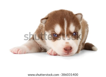 Siberian husky puppy. Front view, isolated on white. - stock photo