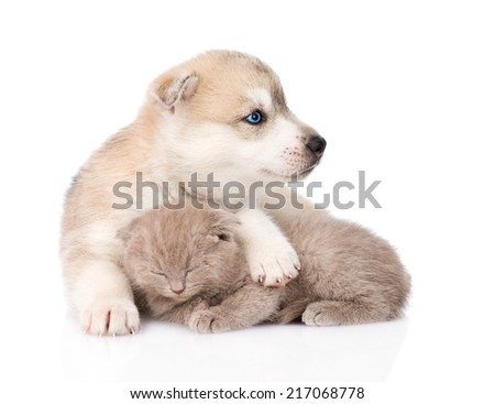 Siberian Husky puppy hugging sleeping scottish kitten . isolated on white background