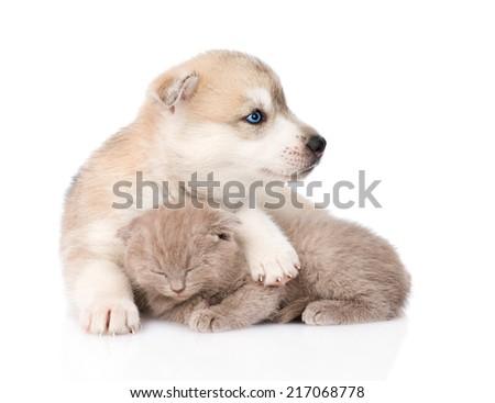 Siberian Husky puppy hugging sleeping scottish kitten . isolated on white background - stock photo