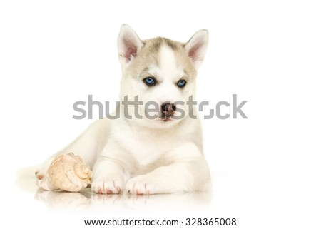 Siberian Husky puppy,  isolated on a white background