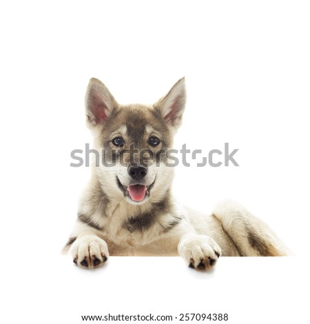 Siberian husky puppy lying on a white background isolated