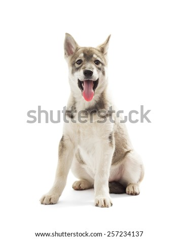 Siberian Husky puppy on a white background