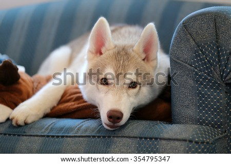 Siberian husky puppy on sofa