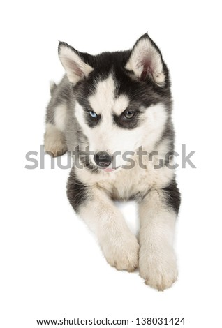 Siberian Husky Puppy on white background - stock photo