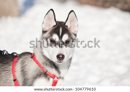 siberian husky puppy outdoor in winter - stock photo
