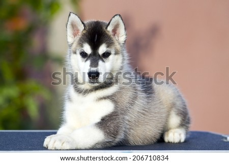 Siberian Husky puppy outdoors - stock photo