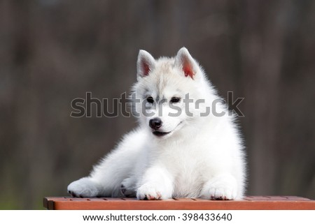 Siberian Husky puppy outdoors