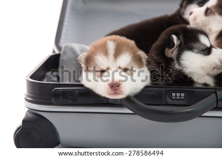 Siberian husky puppy sitting and sleeping for traveling,isolated on white background