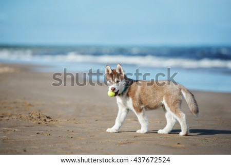 siberian husky puppy walking on the beach