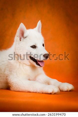 siberian husky puppy  with blue eyes lying orange background - stock photo