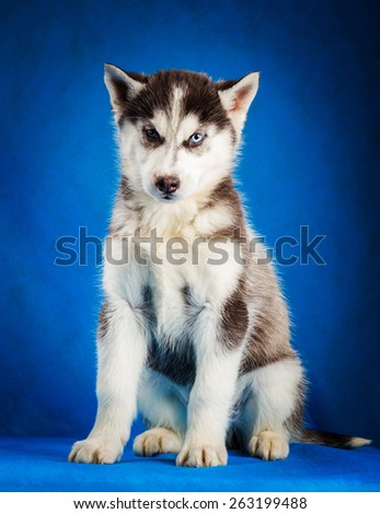 siberian husky puppy  with blue eyes sitting on blue background - stock photo