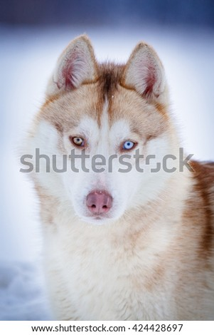 Siberian Husky red dog with heterochromia blue and brown eyes in winter outdoor.