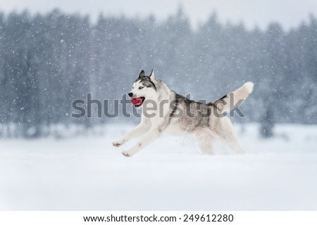 Siberian Husky running in a snowy field - stock photo