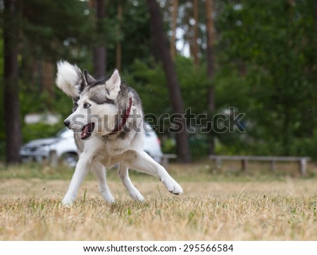 Siberian Husky  runs quickly and change direction. - stock photo