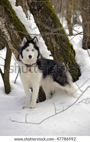 Siberian Husky. Russia - stock photo