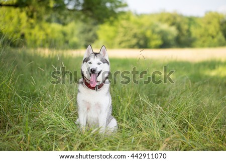 Siberian husky sits in shade of the trees. Dog in the wild nature.