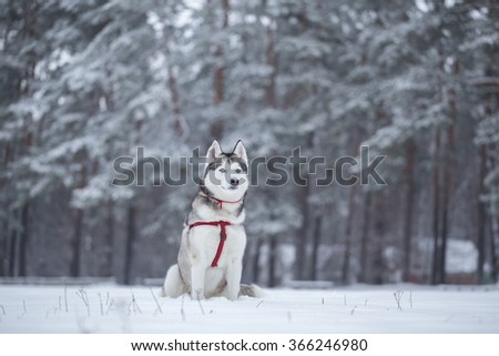 Siberian husky sits on the snow. Dog saunters near forest.  - stock photo