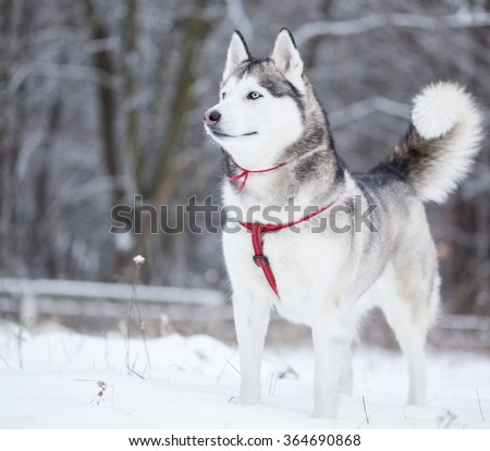 Siberian husky stands in the middle of field. Dog is walking in the park in winter. - stock photo