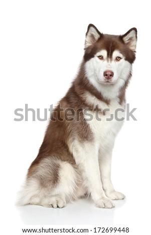 Siberian Husky studio portrait on white background