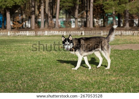 Siberian Husky with a stick in his mouth. Siberian Husky slowly walks with a stick in his mouth. Dog is playing with his master. - stock photo