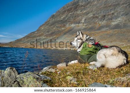 Siberian Husky with backpacks - stock photo